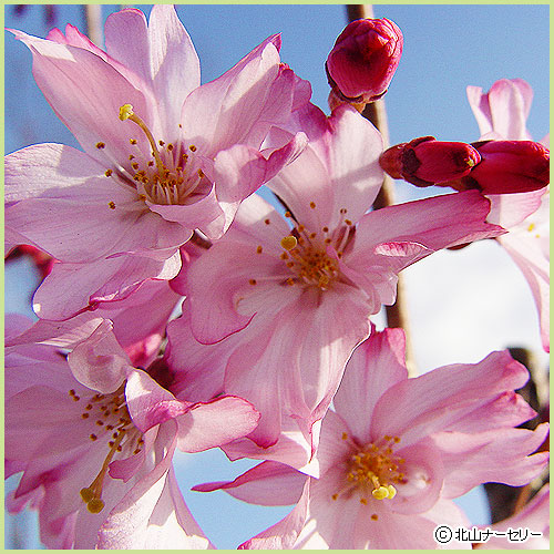 桜(サクラ・さくら)の苗木の販売店