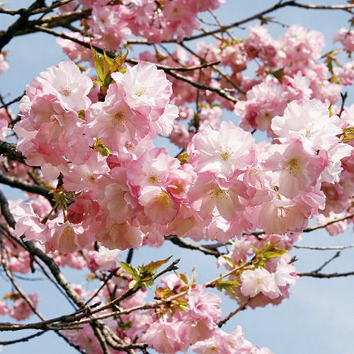 桜(さくら)苗木販売店【花育通販】紅豊