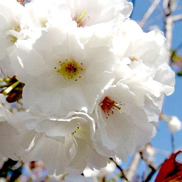 桜(さくら)苗木販売店【花育通販】静香桜