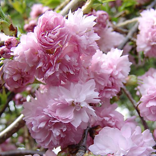 桜(さくら)の苗木販売店【花育通販】菊枝垂桜(キクシダレザクラ)の花