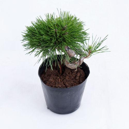 盆栽・山野草の販売店【花育通販】黒松苗木を販売