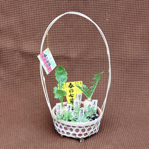 季節の花鉢の販売店【花育通販】春の七草セット
