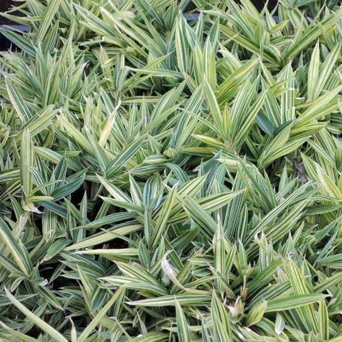 山野草・高山植物の販売店【花育通販】縞笹を販売