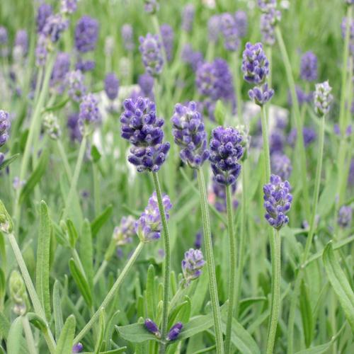 ラベンダー「センティヴィア」の苗を販売【花育通販】