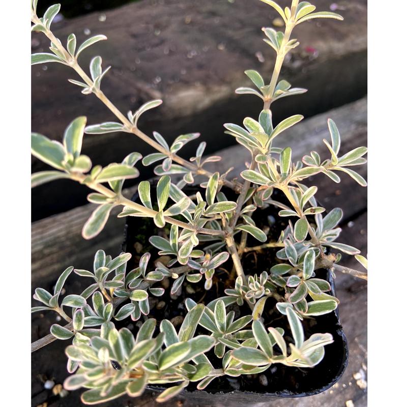 コプロスマ・キルキーの苗