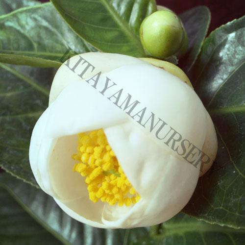 希少な椿(つばき)「ハイドゥン(白花)」の苗木を販売しています。