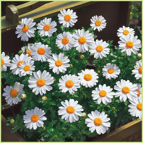 秋・冬・春の花苗(一年草)ノースポールを販売