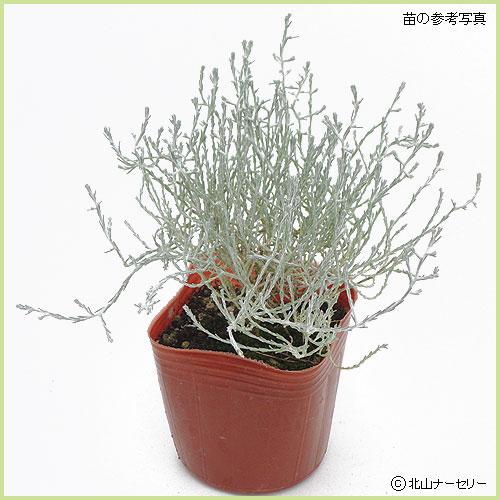 秋・冬・早春の花苗(多年草・宿根草)を販売