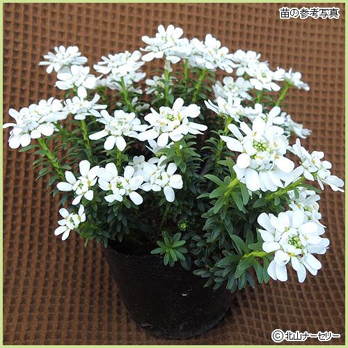 花苗(多年草・宿根草)イベリスの苗を販売