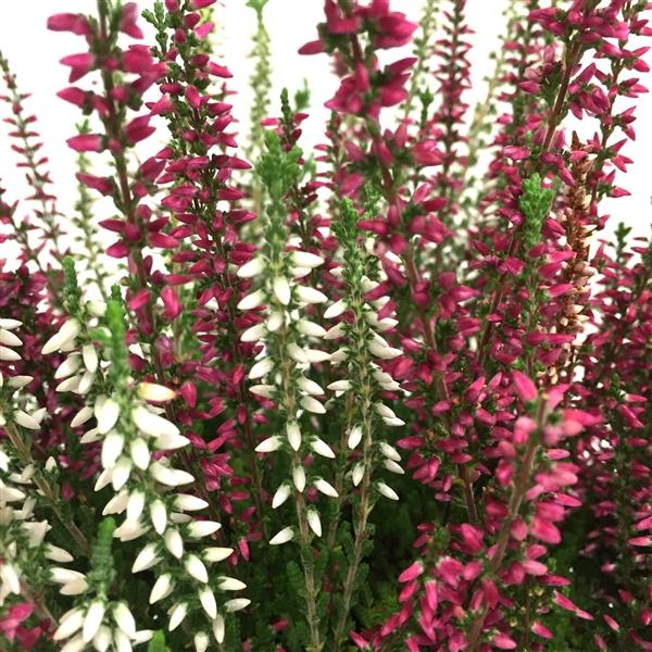 秋~春の花苗(多年草)「カルーナブルガリスの苗」を販売【花育通販】