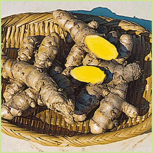 春ウコン(姜黄)・秋ウコンの苗を販売