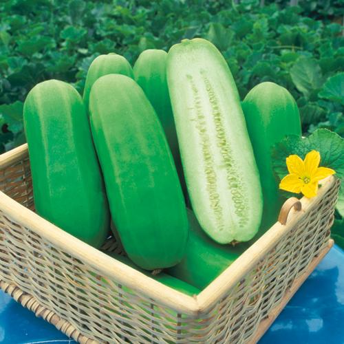 家庭菜園野菜苗の販売店【花育通販】白瓜(シロウリ・しろうり)の苗を販売