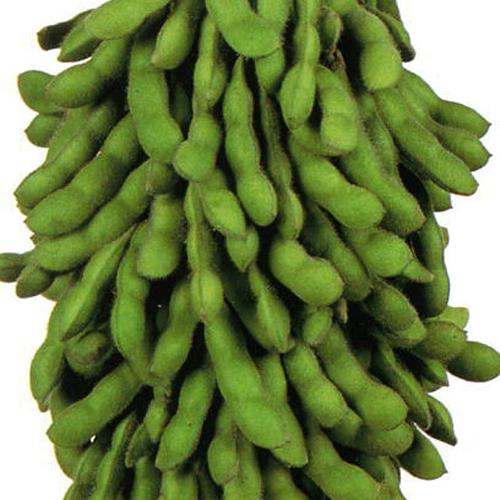 家庭菜園野菜苗の販売店【花育通販】枝豆(エダマメ・えだまめ)の苗を販売