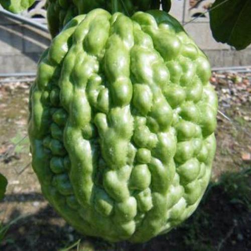 アップルゴーヤの苗を販売【花育通販】健康野菜苗の販売店