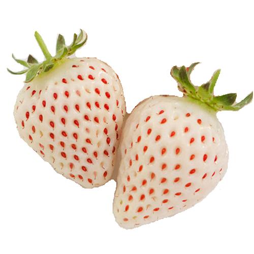白苺「天使のイチゴ」苗【花育通販】いちご苗の販売店