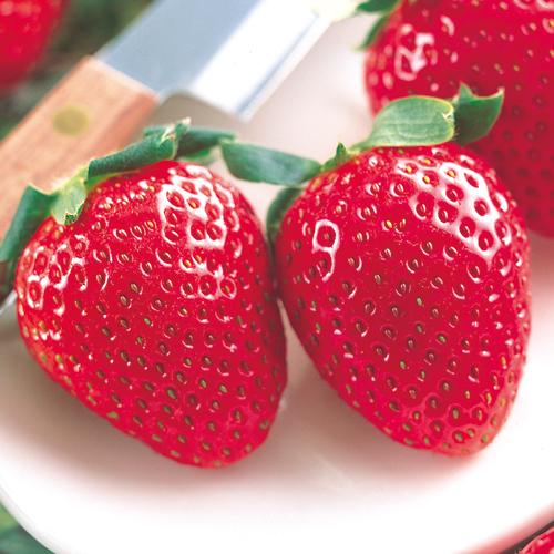 苺(イチゴ・いちご)おいCベリーの苗を販売【花育通販】