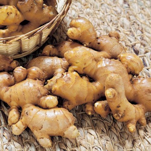 生姜(ショウガ)「お多福しょうが」の種芋を販売【花育通販】