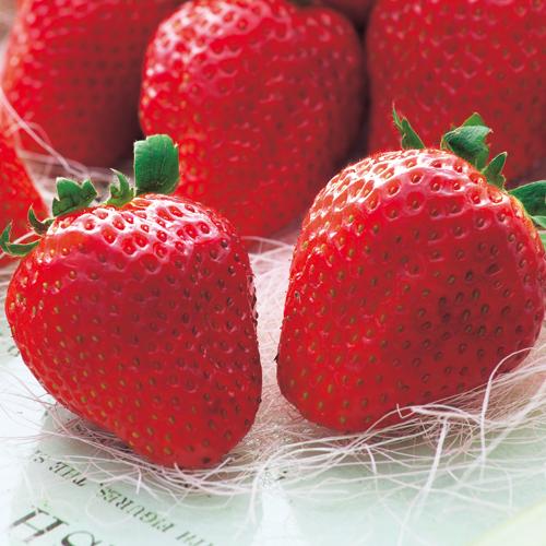 苺(いちご・イチゴ)苗の販売店【花育通販】