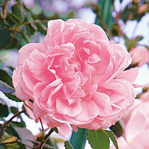 薔薇(バラ)苗木の販売店【花育通販】シンデレラ