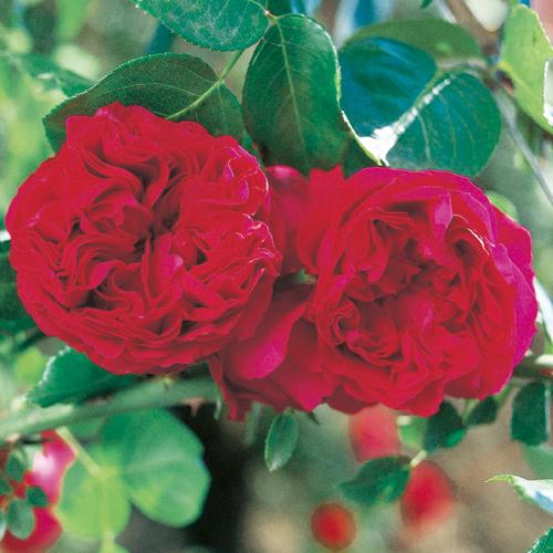 薔薇(バラ)苗木の販売店【花育通販】ルージュ・ピエール・ドゥ・ロンサール