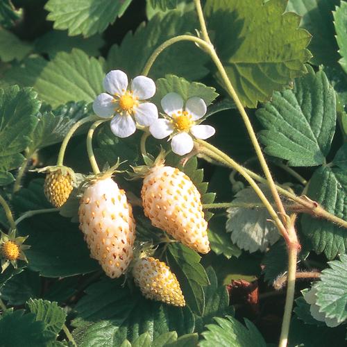 ワイルドストロベリーの苗を販売【花育通販】