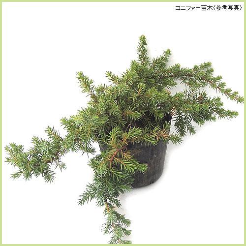 コニファー(針葉樹・常緑樹)苗木の販売店