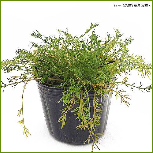 ハーブ(香草)の苗を販売