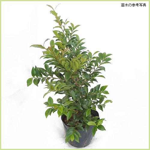 ヒサカキの苗木を販売