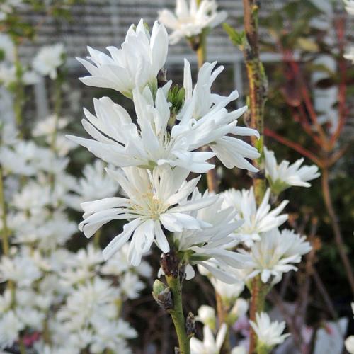 花桃「白楽天」の苗木を販売【花育通販】