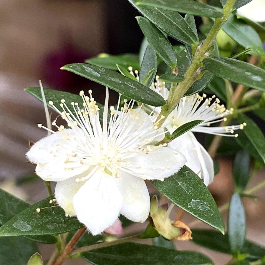 マートル(ギンバイカ・銀梅花) コンパクタの苗木