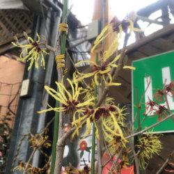 マンサク'モリス・パリダ'(シナマンサク'パリダ')の苗木