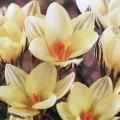 寒咲きクロッカスの球根・ジプシーガールを販売【花育通販】