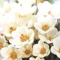 寒咲きクロッカスの球根・クリームビューティを販売【花育通販】