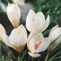 寒咲きクロッカスの球根・ミスベインを販売【花育通販】