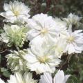 花の苗(多年草・宿根草)クレマチス苗の販売店