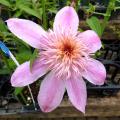 花の苗(多年草・宿根草)クレマチス苗の販売店【花育通販】エンプレイス