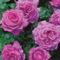 薔薇(バラ)苗木の販売店【花育通販】シャルトルーズ・ドゥ・パルム