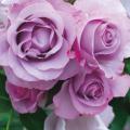薔薇(バラ)苗木の販売店【花育通販】ディオレサンス