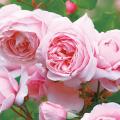 薔薇(バラ)苗木の販売店【花育通販】ナエマ