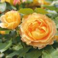 薔薇(バラ)苗木の販売店【花育通販】ラ・ドルチェ・ヴィータ