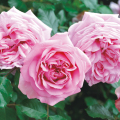 薔薇(バラ)苗木の販売店【花育通販】ローズ・ポンパドール