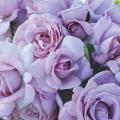 薔薇(バラ)苗木の販売店【花育通販】ローズシネルジック(エモーションブルー)
