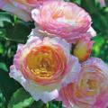 薔薇(バラ)苗木の販売店【花育通販】フレンチローズ マルクシャガール