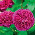 薔薇(バラ)苗木の販売店【花育通販】フレンチローズ アレゴリー