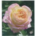 薔薇(バラ)苗木の販売店【花育通販】フレンチローズ ミツコ