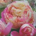 薔薇(バラ)苗木の販売店【花育通販】エドゥアール・マネ