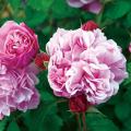 薔薇(バラ)苗木の販売店【花育通販】サント・ノーレ
