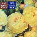薔薇(バラ)苗木の販売店【花育通販】シャトー・ドゥ・シュベルニー