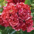 薔薇(バラ)苗木の販売店【花育通販】ラ レーヌ・ドゥ・ラ・ニュイ