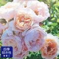 薔薇(バラ)苗木の販売店【花育通販】ケルビーノ